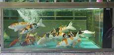 Cara Merawat Ikan Koki Di Aquarium