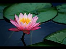 secret symbolism of the lotus flower you are the lotus