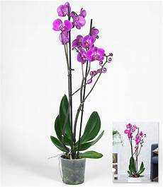 phalaenopsis orchidee 2 triebe quot rosa quot 1 pflanze g 252 nstig