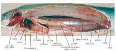 Agribisnisperikanansmkn2pinrang Anatomi Morfology Dan