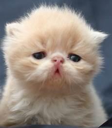 gatti persiani gatti persiani tutto per gatti persiani