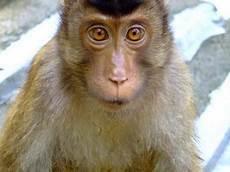 Gambar Monyet Dunia Binatang
