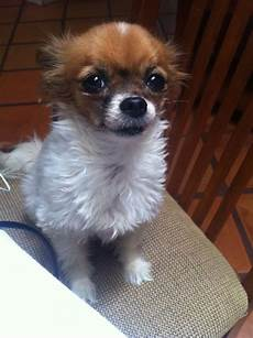 chihuahua mix welpen chion papillon chihuahua mix info temperament puppies