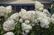 wann werden hortensien geschnitten hortensien im sommer schneiden 187 ist das ratsam