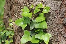 liste winterharter und mehrj 228 hriger kletterpflanzen
