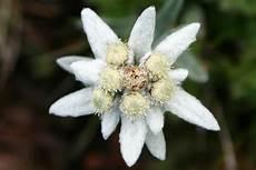 fiore edelweiss leggenda stella alpina sulla nascita dell edelweiss nelle
