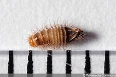 teppichkäfer larven im bett larven k 228 fern im bett was tun teppichk 228 fer co