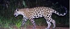 Jaguar Corridor Lights Up Eastern Colombia Archive U S