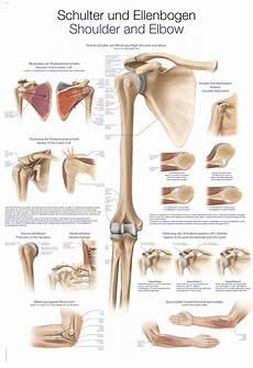 Erler Zimmer Anatomische Lehrtafel Schulter Ellenbogen