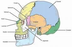 Mengenal Anatomi Tulang Manusia Dari Kepala Hingga Ujung Kaki