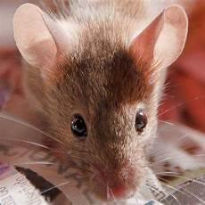 faire fuir les souris les souris immatures 171 pleurent 187 pour 233 viter l accouplement