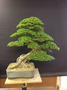 topical times the humble elm hanby bonsai