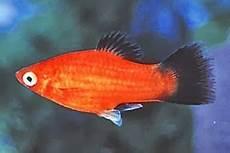 Gambar Ikan Hias Air Tawar Terindah Kaisar