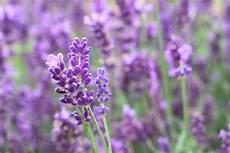 lavendel gegen wespen lavendel und lavendel 246 l gegen wespen hilft es wirklich