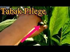 2 1 tabakpflanzen ausgeizen und k 246 pfen tabak selber