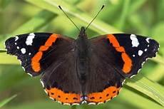 Weißer Schmetterling Bedeutung - admiral schmetterling
