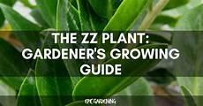 Zz Plant Zamioculcas Zamiifolia Care And Growing Guide