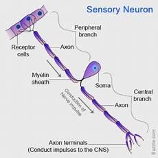Sebutkan Bagian Bagian Neuron Beserta Fungsinya Berbagai