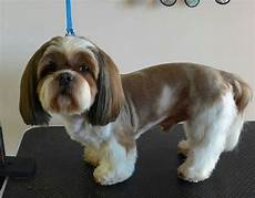 top 10 popular shih tzu haircuts 30 pictures page 8