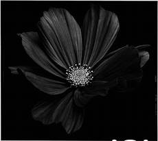 back to black flowers amazing photos by bettina g 252 ber