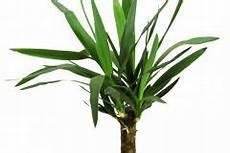 yucca palme zurückschneiden yucca palme zur 252 ckschneiden 187 so gehen sie vor palmlilie