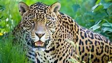 amazing facts about jaguars onekindplanet animal education facts