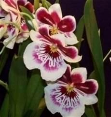 immagini fiori orchidee orchidee domande e risposte fiori quando regalare orchidee