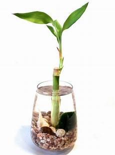 bambou en vase lucky bamboo plant room decor10