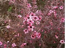 arbustes à fleurs rouges file leptospermum scoparium2 jpg