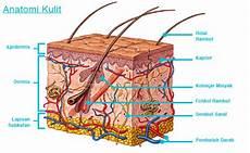 Sistem Ekskresi Pada Manusia Organ Fungsi Dan Gambarnya
