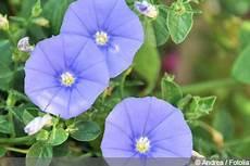 blaue mauritius pflanze convolvulus sabatius pflege und