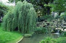 Le Saule Salix