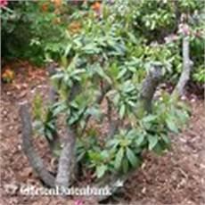 Alten Rhododendron Zur 252 Ckschneiden R 252 Ckschnitt Wenn Zu Gro 223