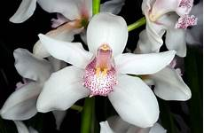 immagini fiori orchidee fiori orchidea fiori delle piante