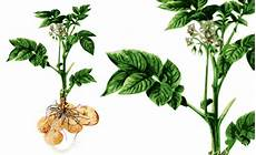 kartoffel pflanzenforschung de