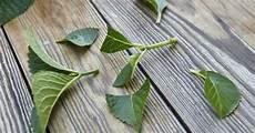 hortensien durch stecklinge vermehren mein sch 246 ner garten