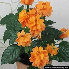 Zimmerpflanze Orange Blüte - crossandra infundibuliformis