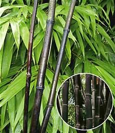 schwarzer bambus black bamboo sonderartikel bei baldur