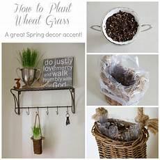 planting wheat grass for decor sew a fine seam