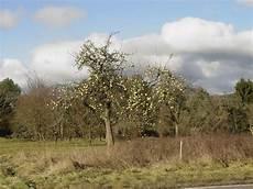 apfelbaum hat braune blätter dieser apfelbaum hat alle seine bl 228 tter abgeworfen aber