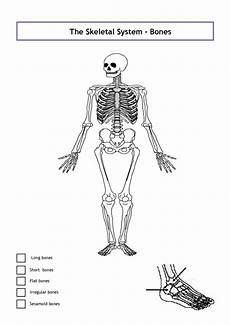 human skeletal system diagram labeled unlabeled diagram of the human skeleton unlabeled diagram of the human skeleton human skeletal