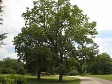 gardening around black walnut trees