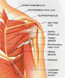 The 25 Best Muscles Of The Shoulder Ideas On