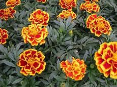 tagete fiore tagete piante da giardino coltivare tagete