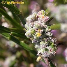 Aceria Soorten Plantengallen Digitaal Herbarium
