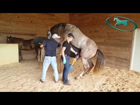 Stallion Ejaculation