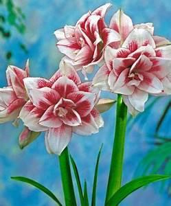 Amaryllis In Der Vase : amaryllis elvas 39 von bakker auf kaufen ~ Lizthompson.info Haus und Dekorationen