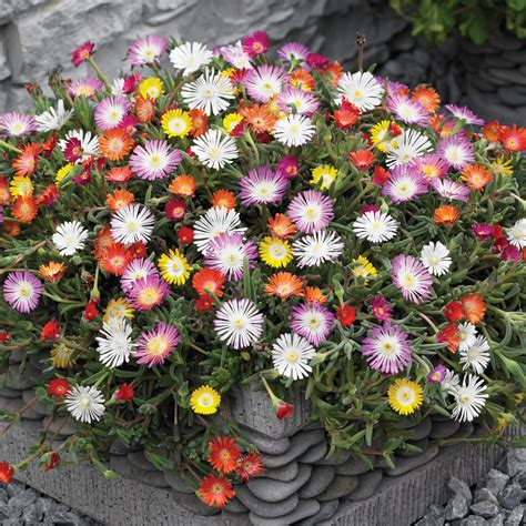 what are hardy perennial plants delosperma hardy ice plant perennial vigorous ground cover even in the driest of soils