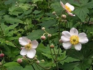 Kirschlorbeer Ungiftige Sorte : herbst anemone staude anemone japonica pflanze japan anemone pflege anemone hupehensis standort ~ Orissabook.com Haus und Dekorationen
