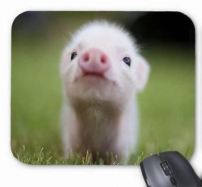 Pigs Animals Very Porcs Teacup Adorable Animal